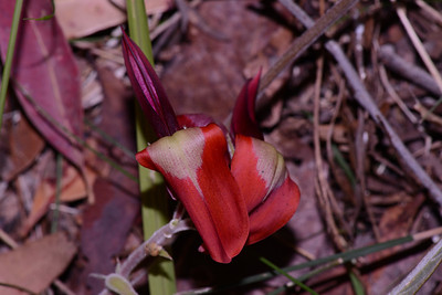 "The Kennedy Pea, ""Kennedia rubicunda"" at lower altitude on Mt. Maroon, in masses of tangling vines, blooms may be multiple and exuberant September 2012. Look for later hairy seed pods. One of the larger peas."