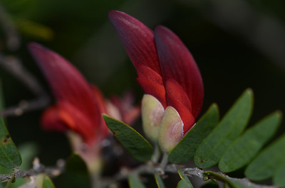 """""""Bossiaea rupicola"""", a type of pea which has a stunning and typical shape and leaf. I think of the flowers standing to attention like the red jacketed guards at Buckingham Palace. August flowering, 2011."""