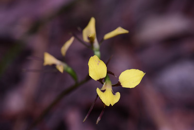 "Yellow Donkey Orchid, ""Diuris sulphurea"", also call Tiger Orchid. Isolated in leafy forest, 350 m. Look carefully along the forest floor."
